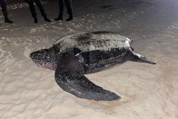 Une tortue luth - A leatherback turtle