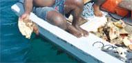 pêche de lambis interdite