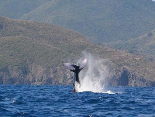 Nageoire caudale d'une baleine à bosse dans la Réserve naturelle de Saint-Martin - Caudal fin of a humpback whale in the Nature reserve of Saint Martin © Michel Vély