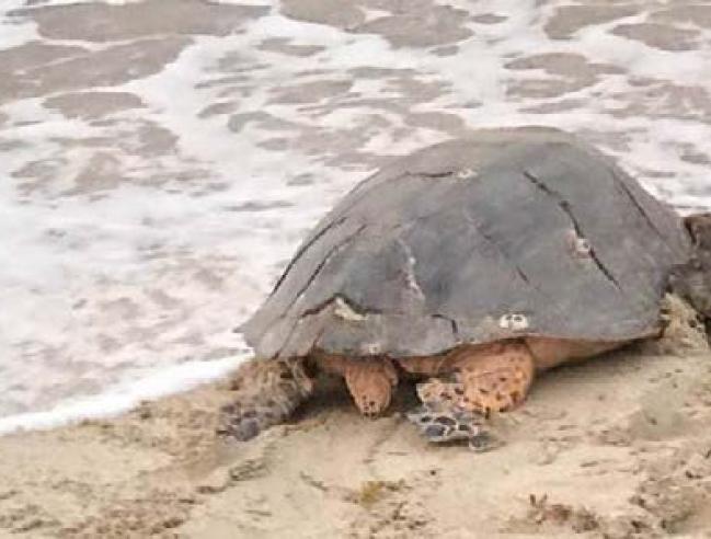 Retour à la mer pour cette tortue après sa libération - Return to the sea and freedom for this turtle