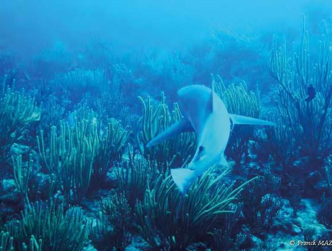 Requin dans un récif corallien – Shark in a coral reef © Franck Mazéas