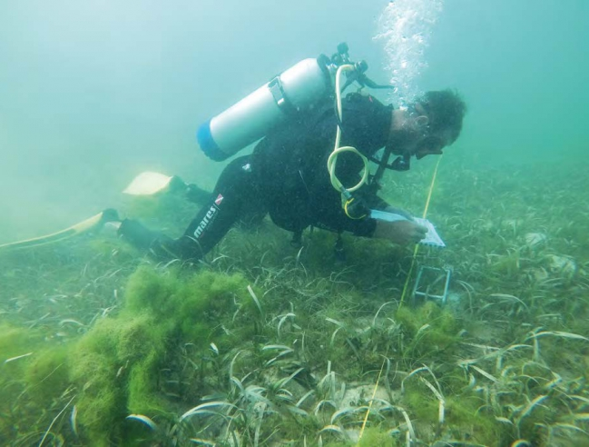 Algues vertes dans l'herbier – Green algae in the seagrass © Julien Chalifour