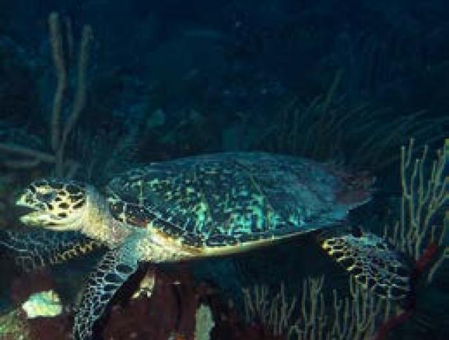 Tortue imbriquée - Hawksbill turtle © Julien Chalifour