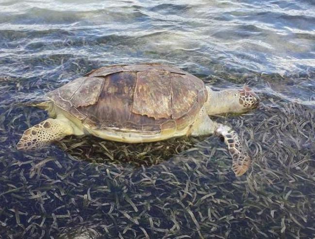 Tortue échouée après une rencontre avec un engin nautique motorisé A sea turtle washed ashore after being hit by a motorized nautical vehicle