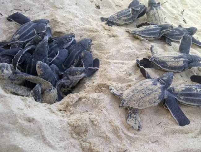 Emergence de bébés tortues luth - Emergence of baby leatherback turtles