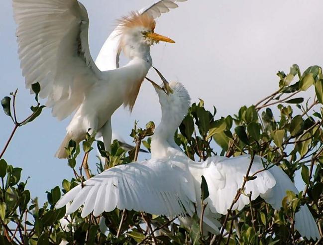 Oiseaux dans la mangrove, avant Irma - Birds in the mangrove, before Irma