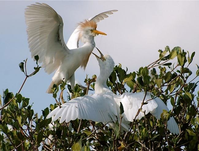 Cattle egret feeding a chick