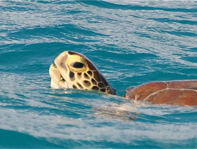 Green turtle breathing
