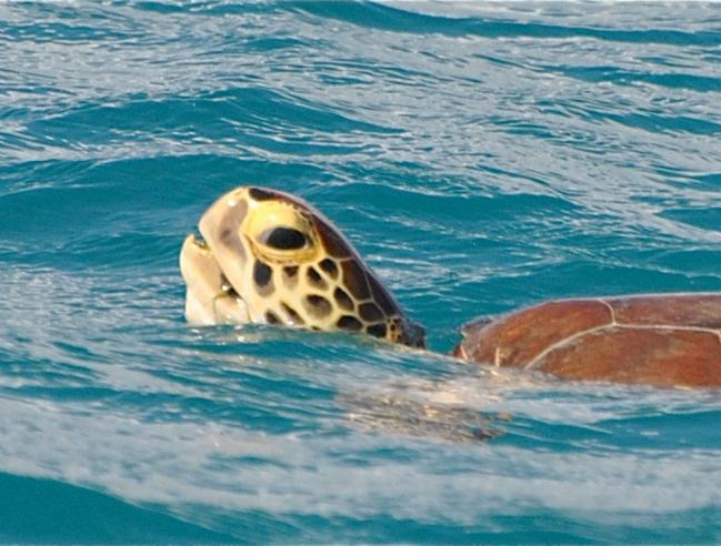Green turtle breathing