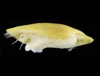 Cymbovula acicularis