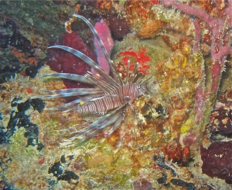 A grouper enjoying the flesh of a lionfish