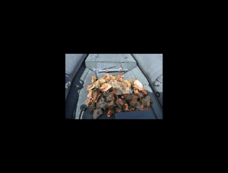 Encore vivants, les 63 lambis ont pu être remis à la mer