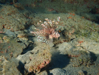 Poisson-lion | Lion fish © Julien Chalifour