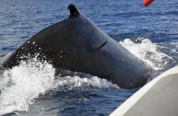 Gros plan sur la balise Argos implantée sur la baleine | Close up of an Argos tag implanted on a whale