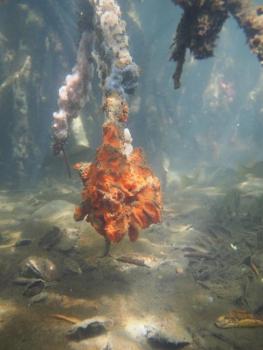 Éponges dans la mangrove Sponges in the mangroves © Julien Chalifour