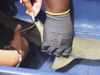 A young lemon shark, weighed, measured, tagged and released back into the sea