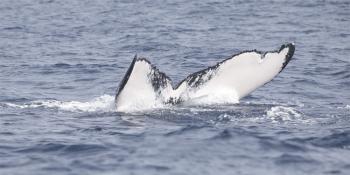A very white caudal fin