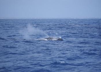 Baleine à bosse dans le canal d'Anguilla | Humpback whale between Saint Martin and Anguilla © Julien Chalifour