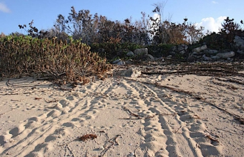 Trace d'une tortue venue pondre |Tracks left by a nesting turtle