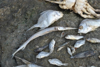 Hundreds of dead fish in the Orient Salt Pond
