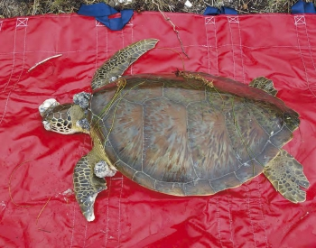 This turtle had numerous tumors due to a herpes virus.