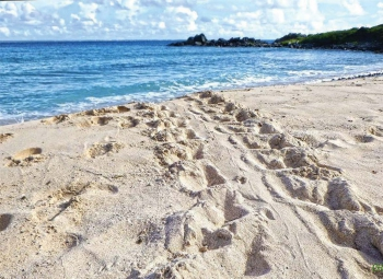 La trace laissée par une tortue venue pondre | The trace left by a nesting turtle