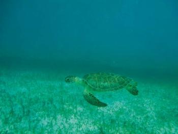 Une tortue verte sur l'herbier de Tintamare A green sea turtle in the Tintamare plant bed © Julien Chalifour