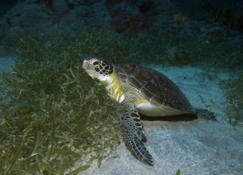 Une tortue verte sur Halophila - Green turtle on Halophila © Julien Chalifour