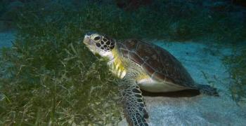 Une tortue verte sur l'herbier de Tintamare A green sea turtle feeding on sea grass at Tintamare