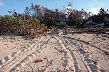 Traces laissées dans le sable par une tortue venue pondre .