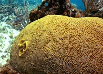 Corail cerveau - Brain coral