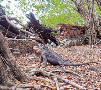 Un iguane des Petites Antilles | A Lesser Antillean green iguana