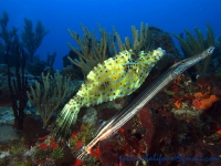 Scrawled filefish and trumpetfish