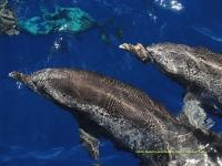 Banc de dauphins
