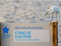 Snowy  egret at the Chevrise pound