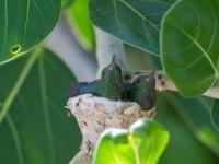 Colibri nichant