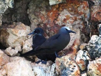Brown noddy and his chick