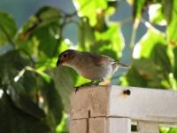 Sporophile des Petites Antilles
