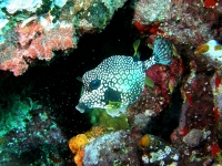 Smooth trunkfish
