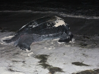 Leatherback turtle going back to sea
