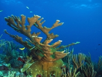Elkhorn coral