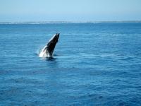 Baleine à bosses