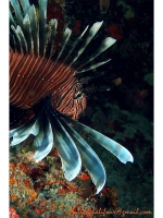 Poisson lion (Pterois volitans)
