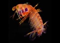 Gonodactylidae